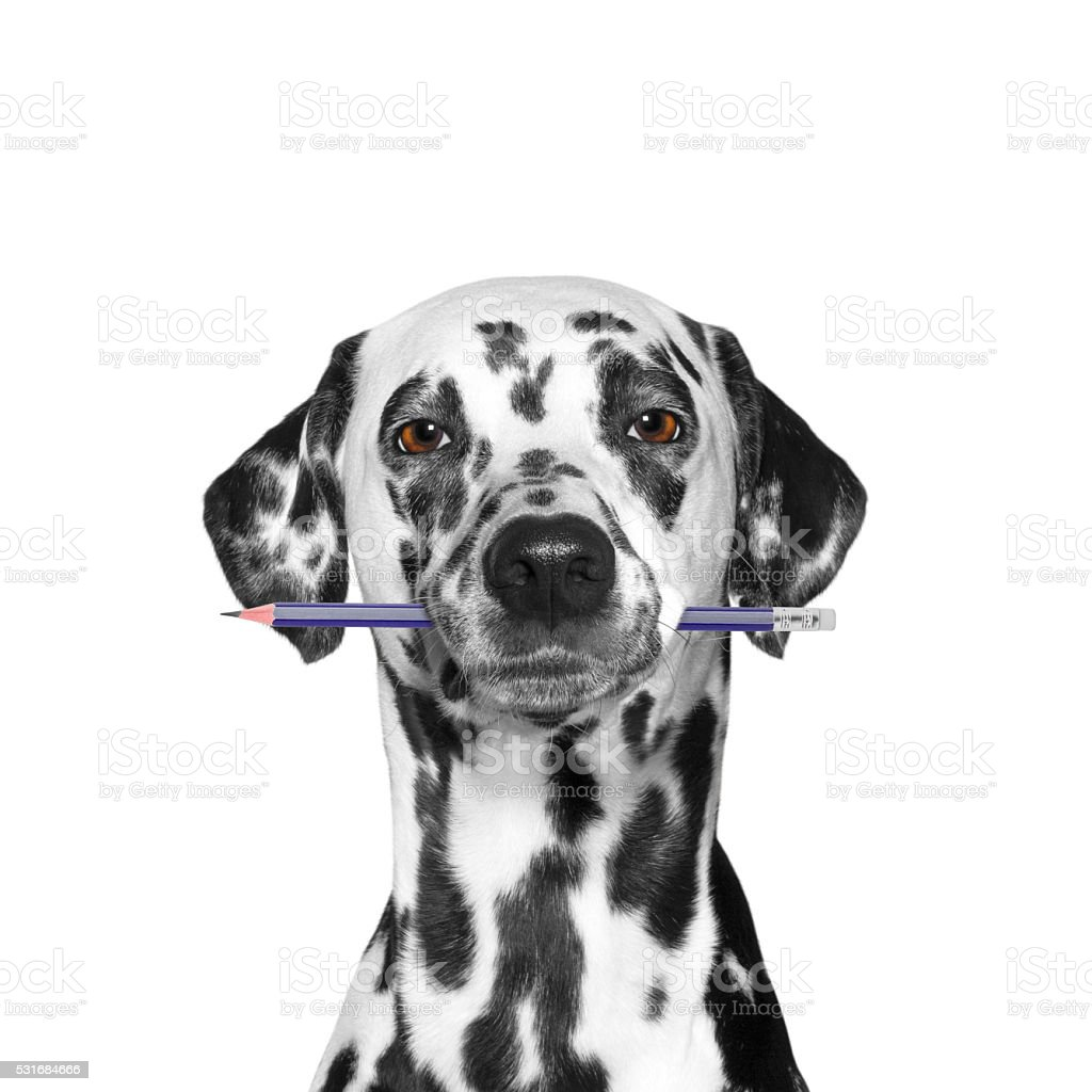 dog holding a pencil in its mouth stock photo