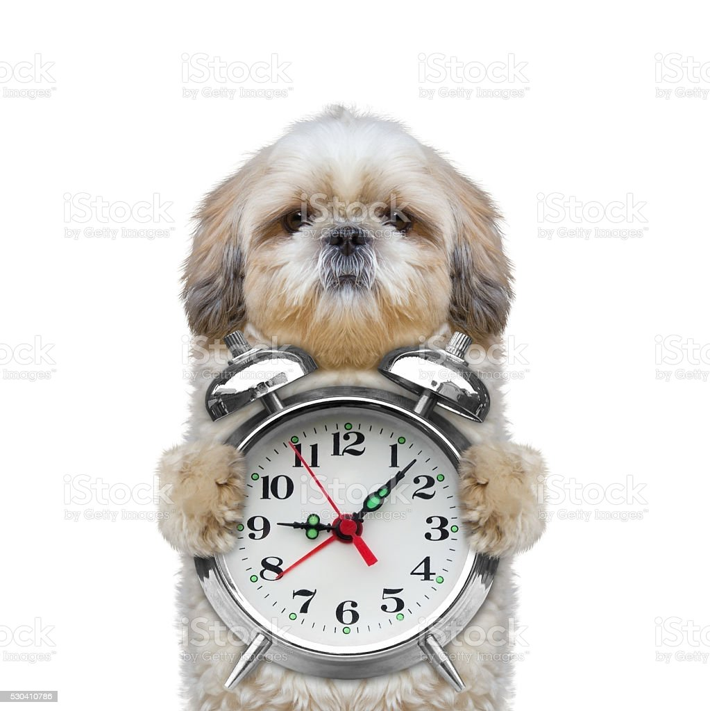 dog holding an alarm clock in his paws stock photo