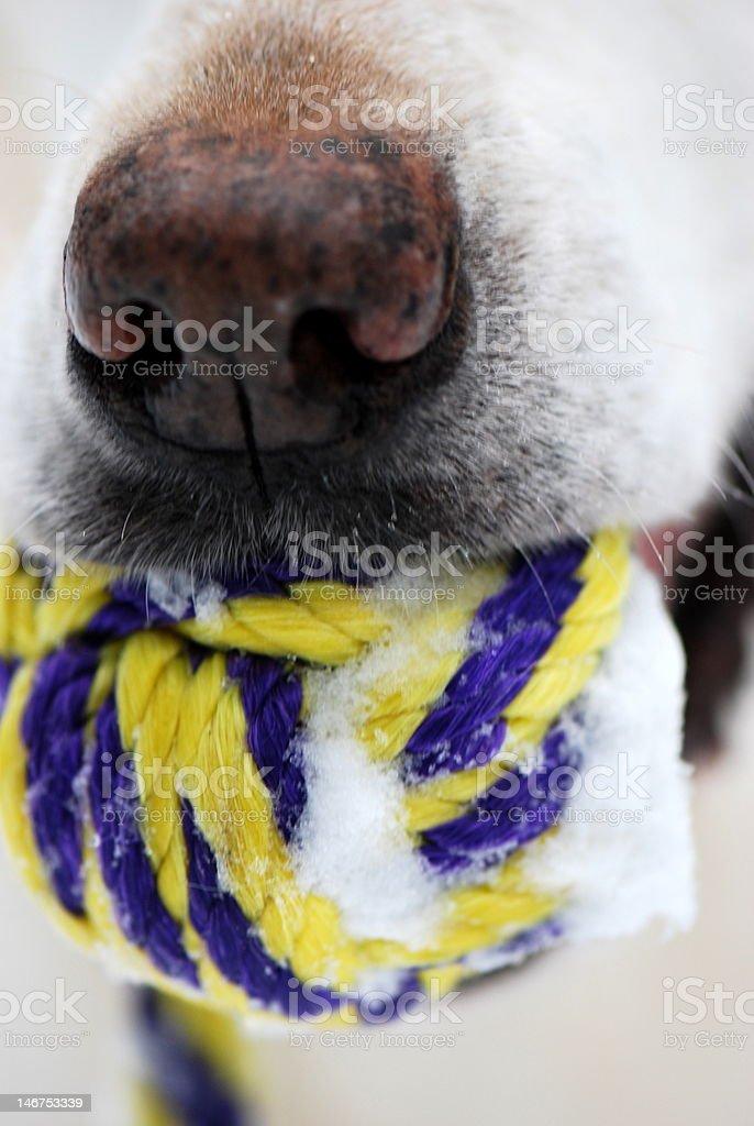 Dog holding ball royalty-free stock photo