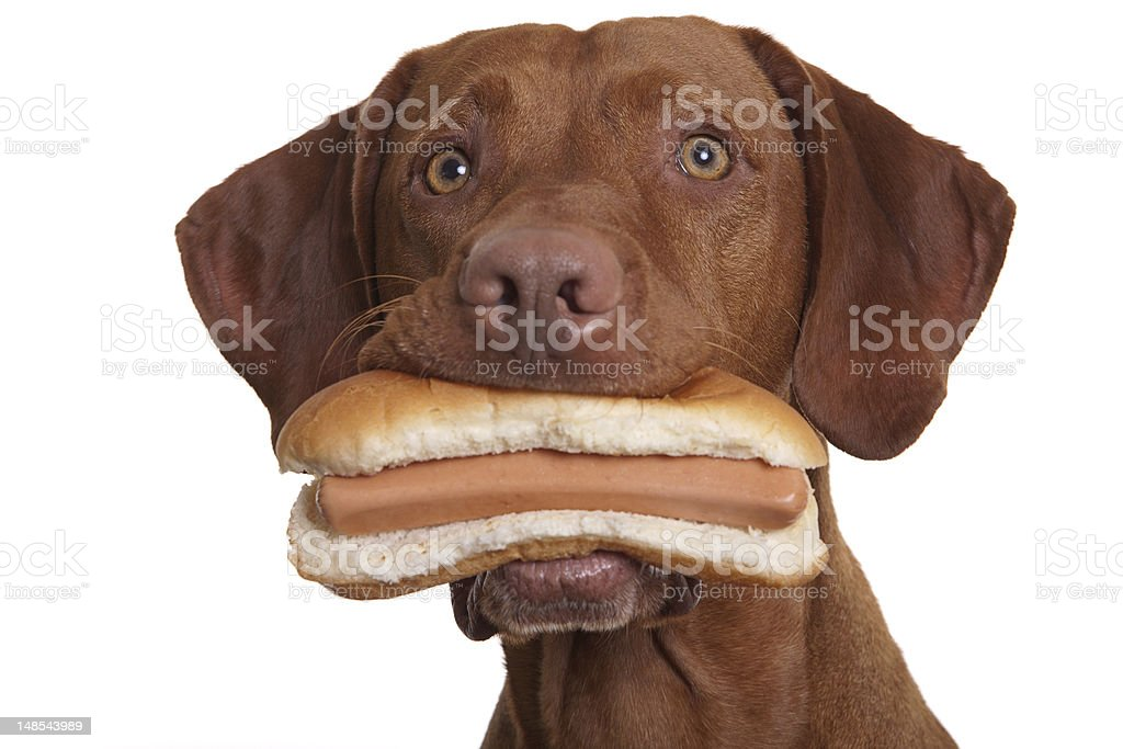 dog holding food in mouth royalty-free stock photo