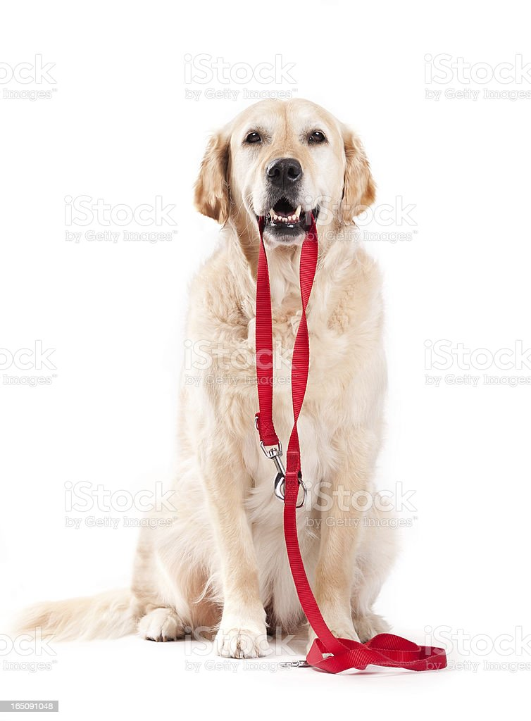 Dog holding leash stock photo