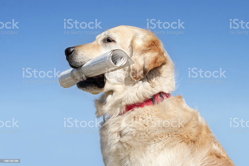Dog holding newspaper royalty-free stock photo