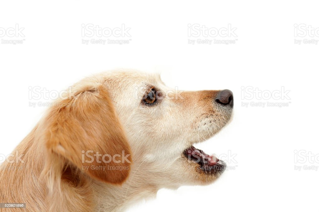 Dog howling on white background stock photo