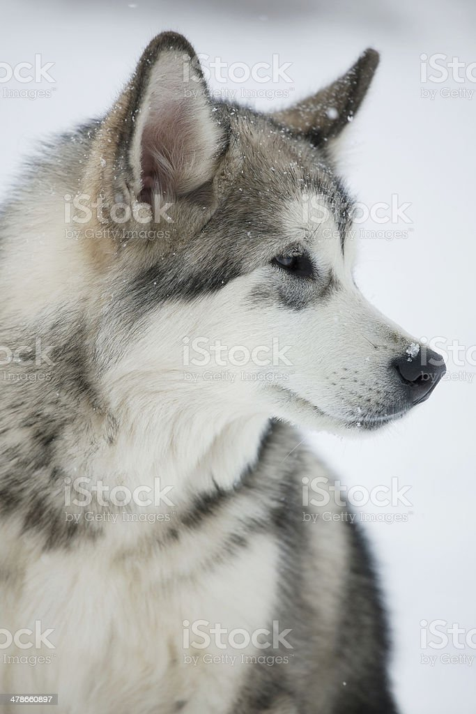 Dog ​​husky looks off to the side stock photo