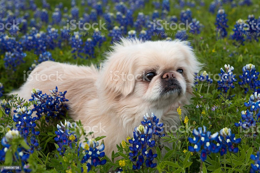 Dog in a Bluebonnet Meadow royalty-free stock photo