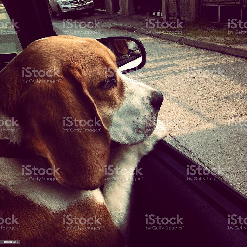 Dog in a car stock photo