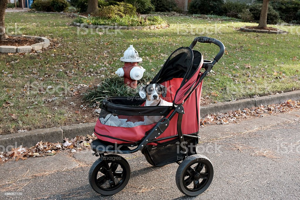 Dog in a pet stroller stock photo
