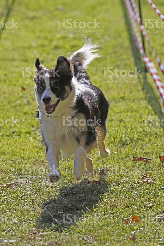 Dog in a race stock photo