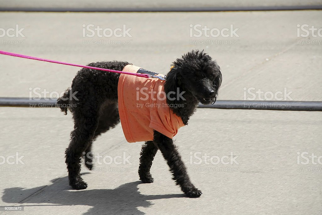 Dog in a shirt royalty-free stock photo