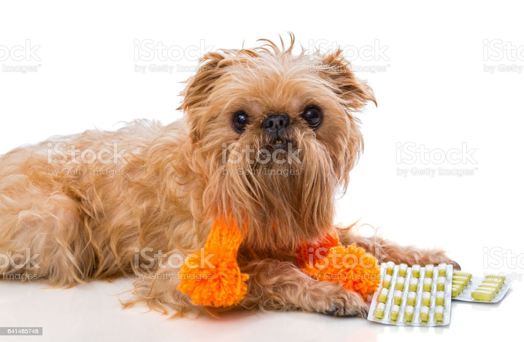 Dog  in a warm scarf and tablets. stock photo