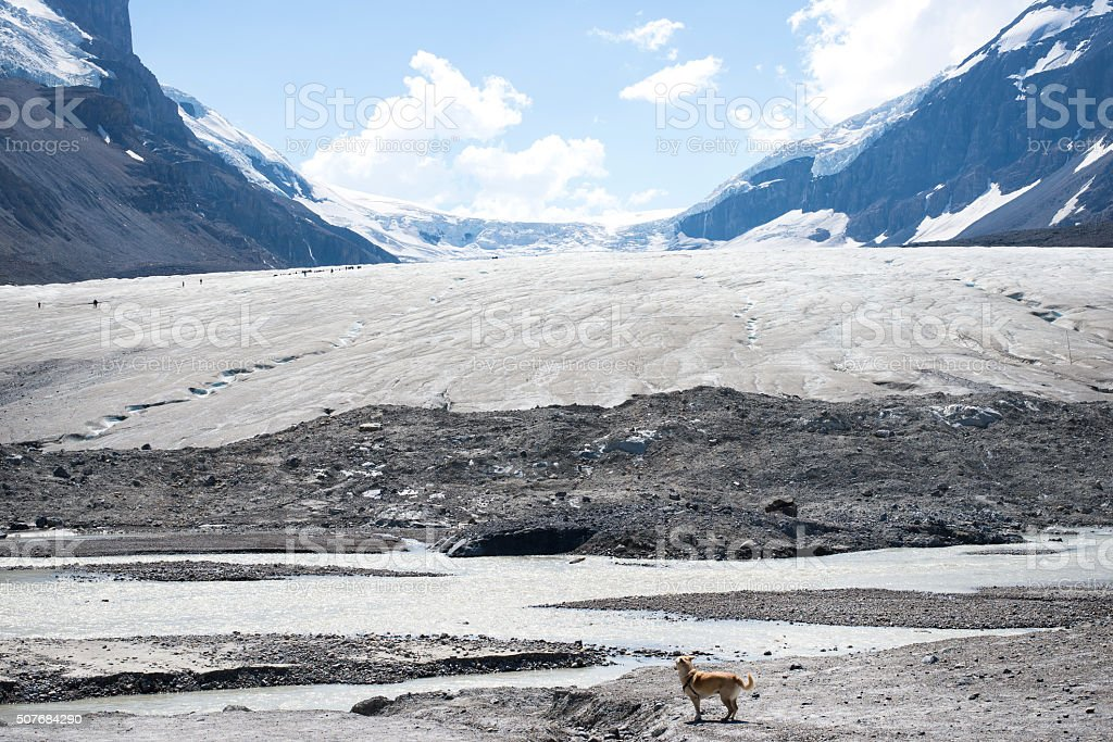 dog in Athabasca Glacier in Icefield Parkway, Banff stock photo