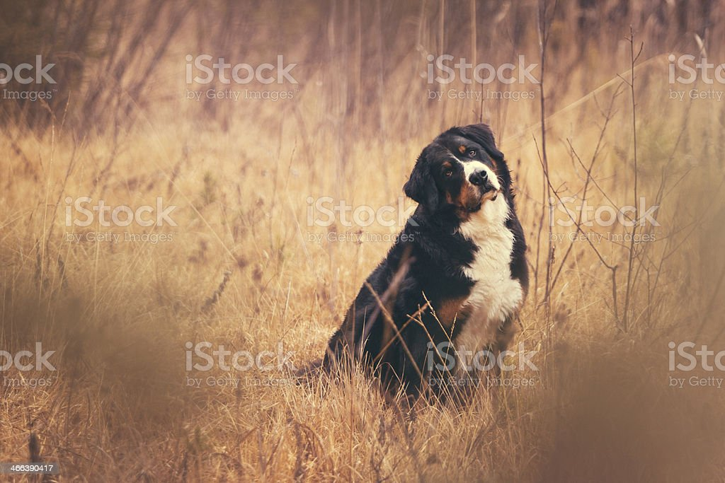 Dog in autumn meadow royalty-free stock photo