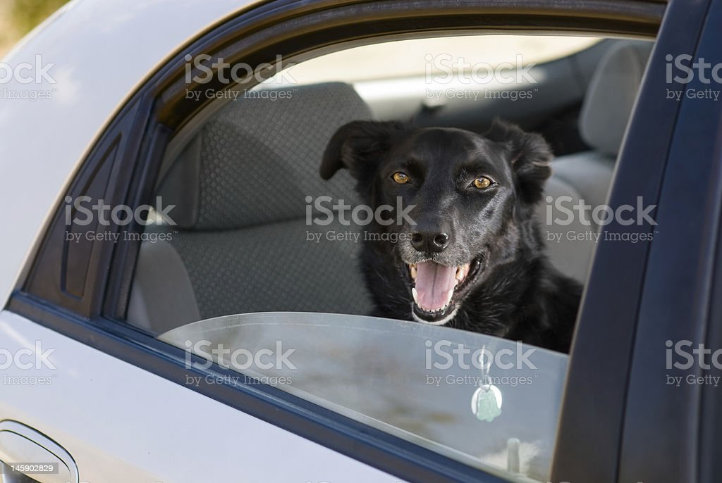dog in back seat of a car royalty-free stock photo