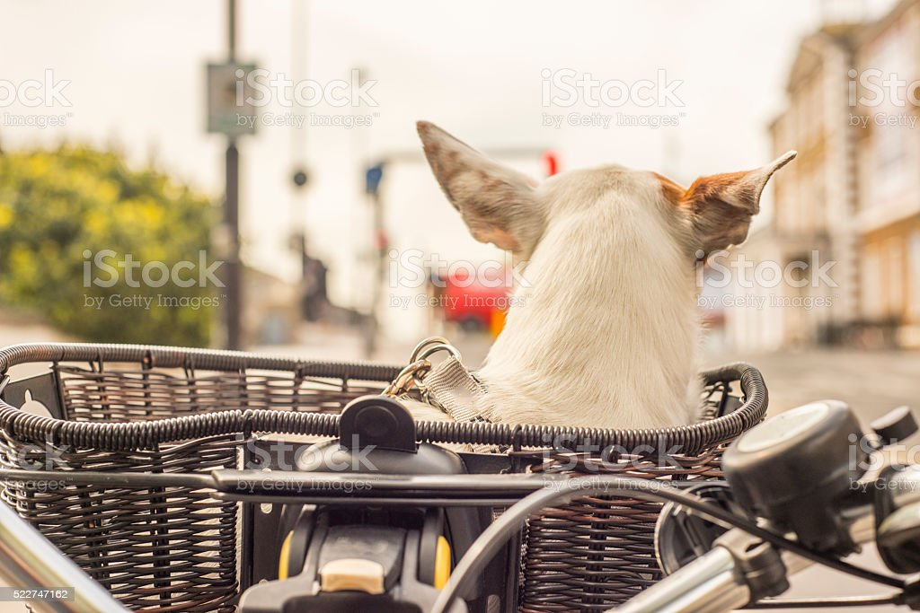 Dog in basket on bicycle stock photo