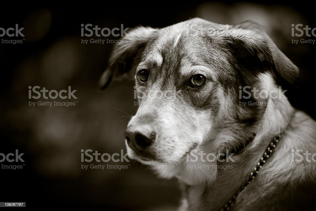 Dog in Black and White royalty-free stock photo