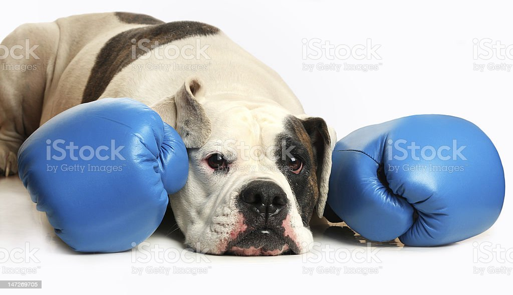 Dog in boxing gloves royalty-free stock photo