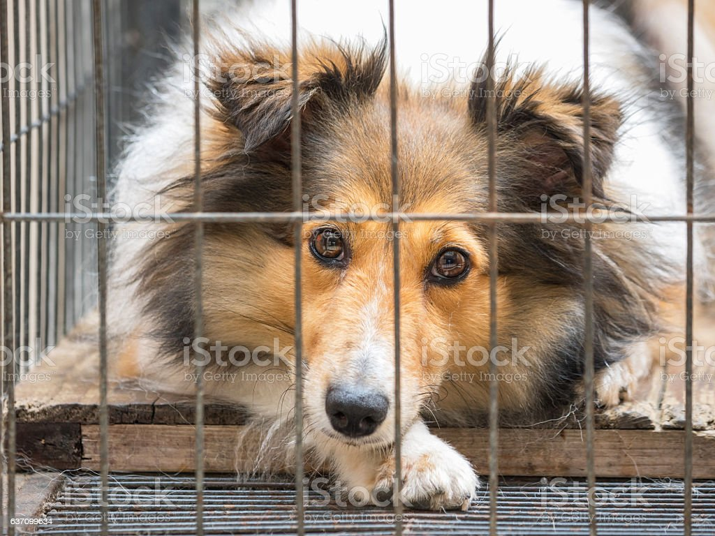 dog in cage series--Shetland sheepdog, her name is Sissi. stock photo