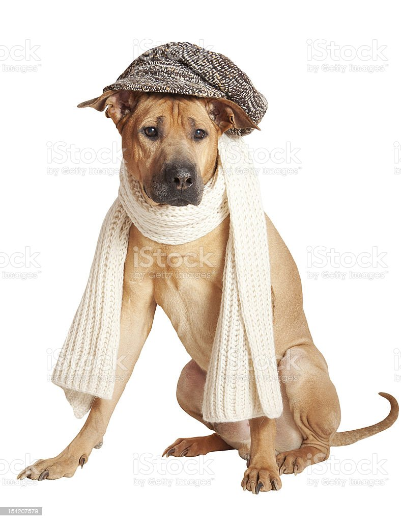 Dog in cap royalty-free stock photo