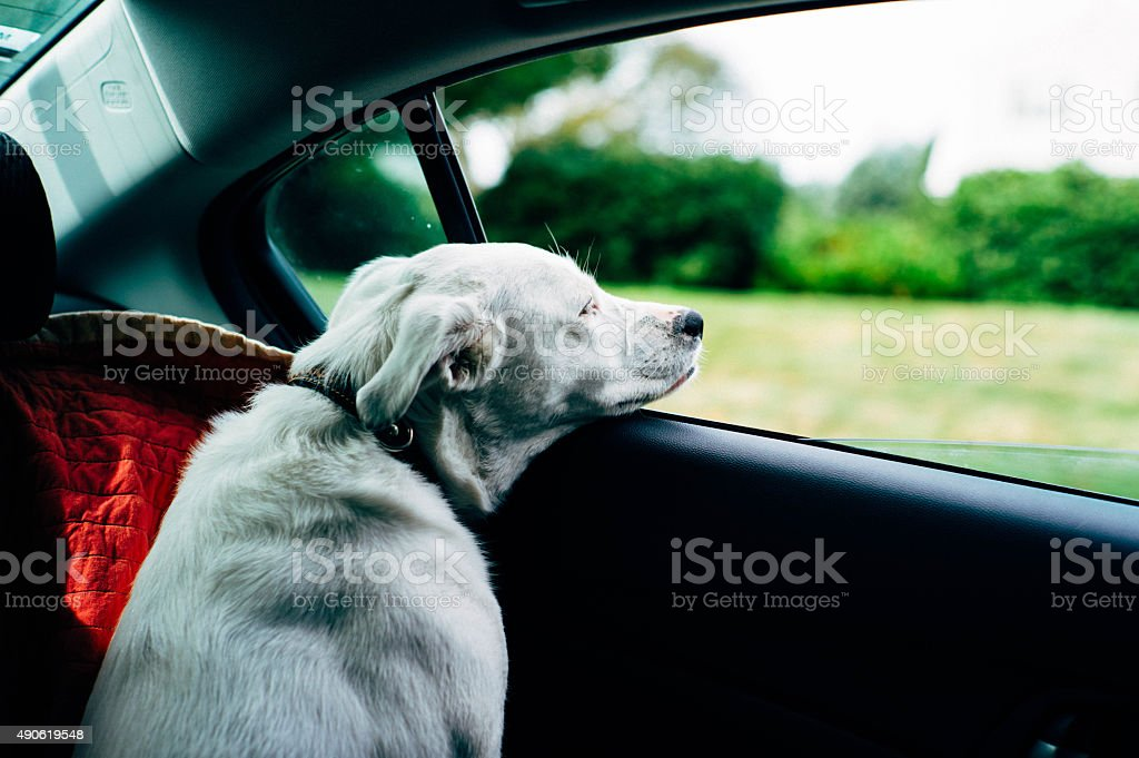 Dog in car stock photo