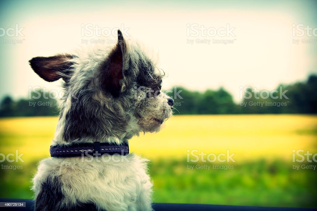Dog in Car Window stock photo