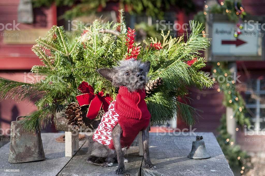 Dog in Christmas sweater royalty-free stock photo