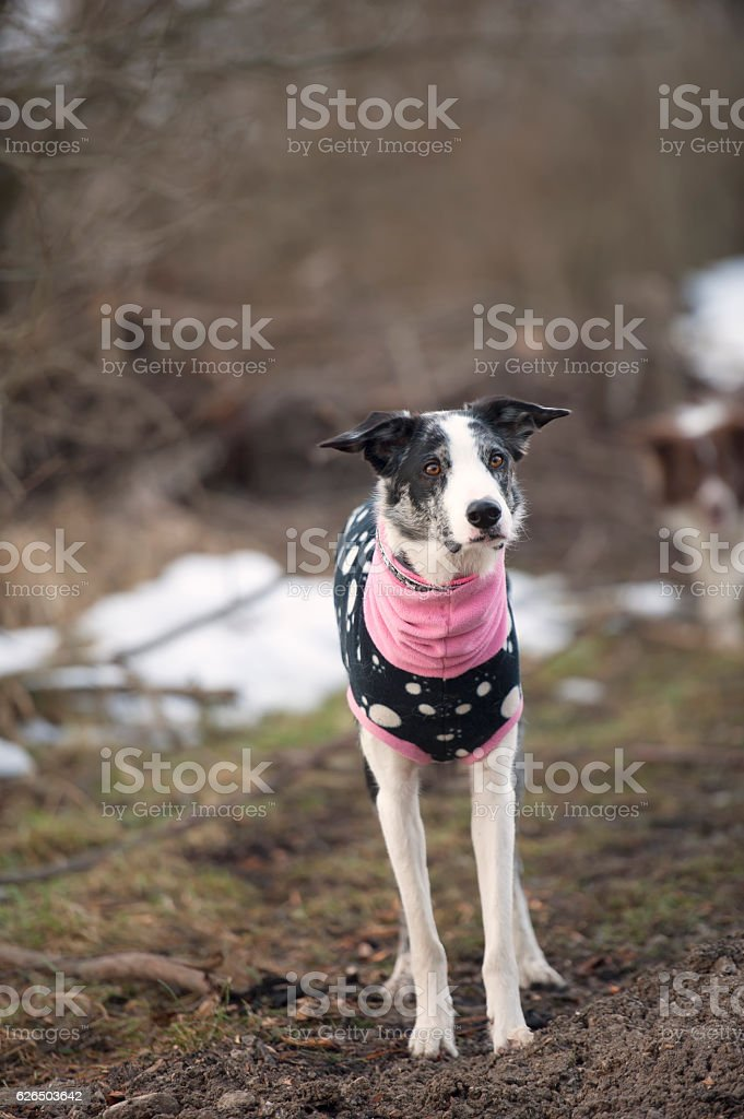 Dog in clothes stock photo