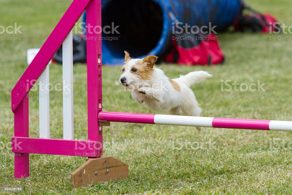 Dog in competition stock photo