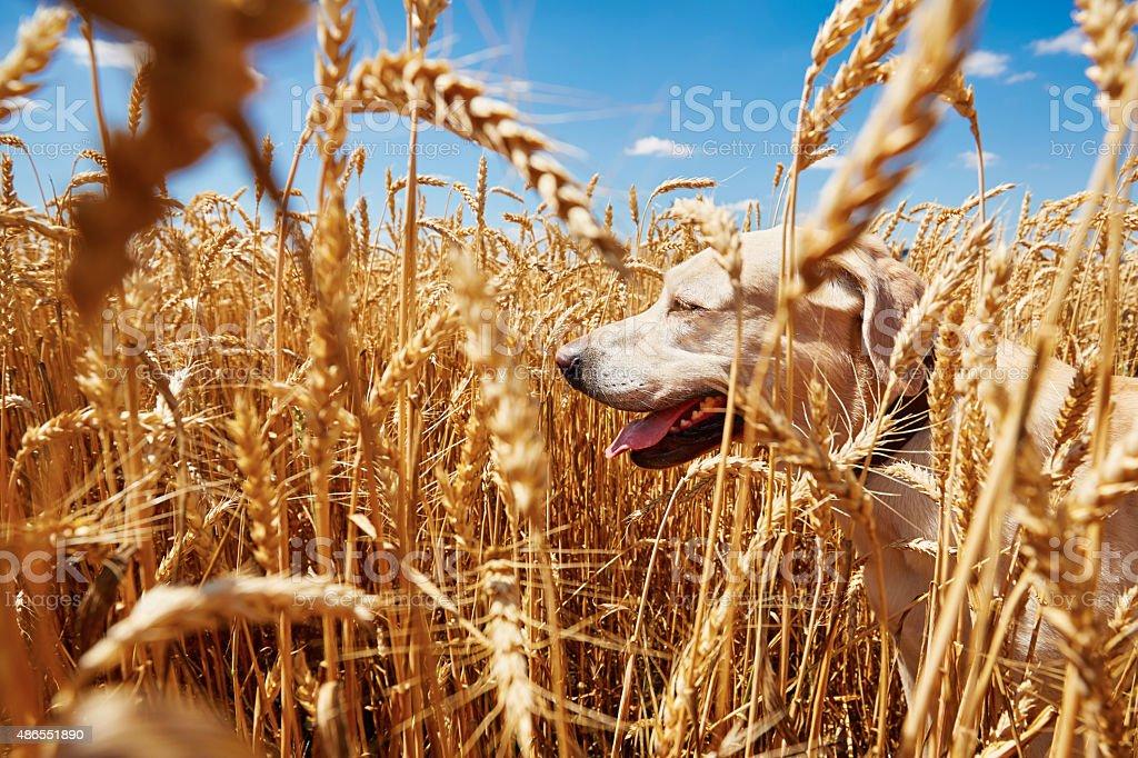 Dog in cornfield stock photo