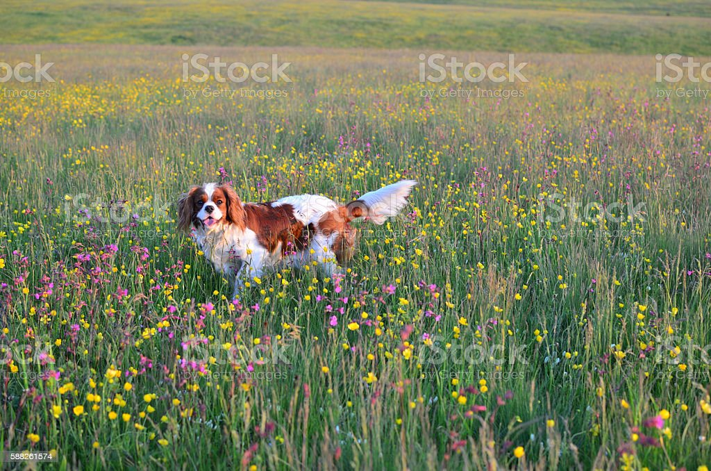 Dog in Field with Wildflowers stock photo