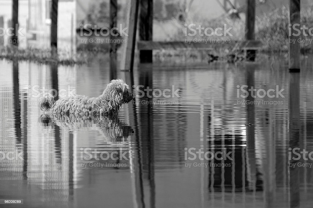 Dog in Flooded Street royalty-free stock photo