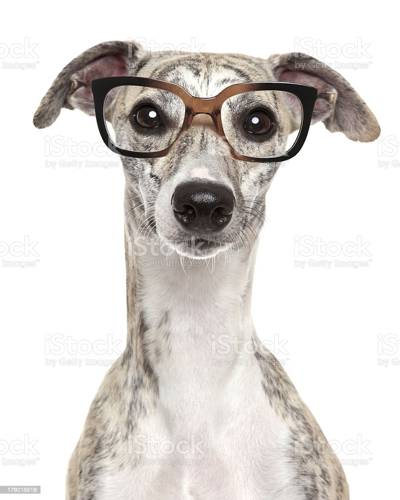 Dog in glasses on white background stock photo