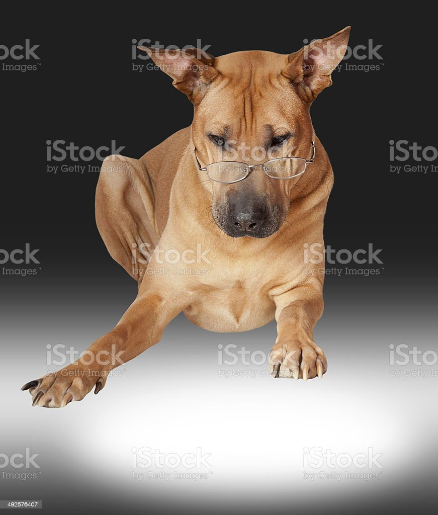 Dog in glasses royalty-free stock photo