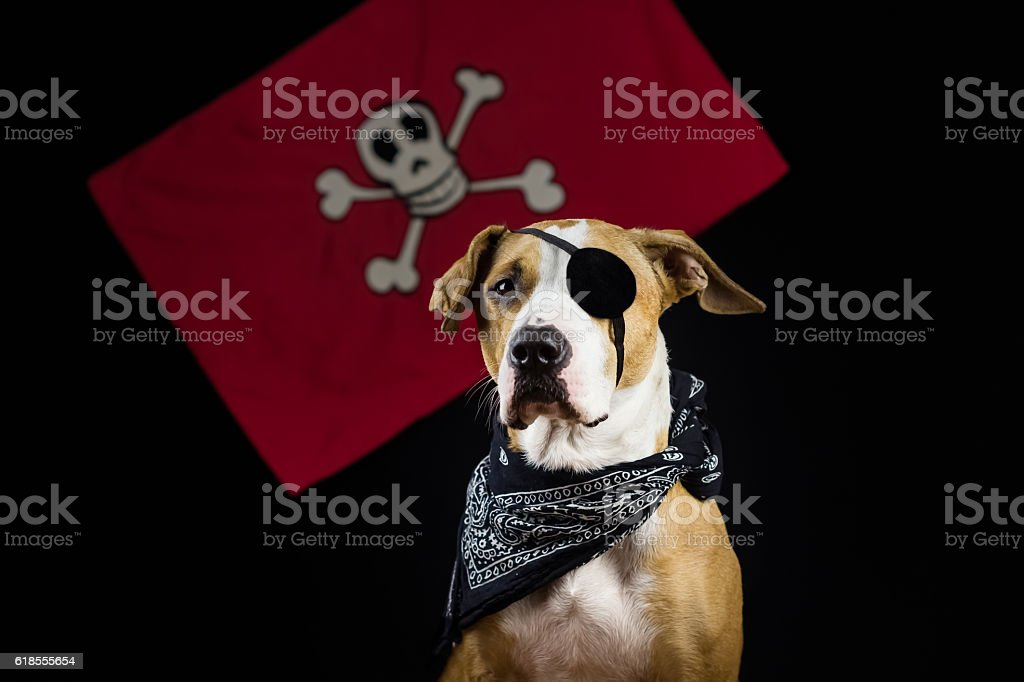 Dog in halloween pirate costume stock photo