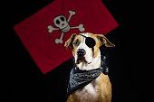 Dog in halloween pirate costume