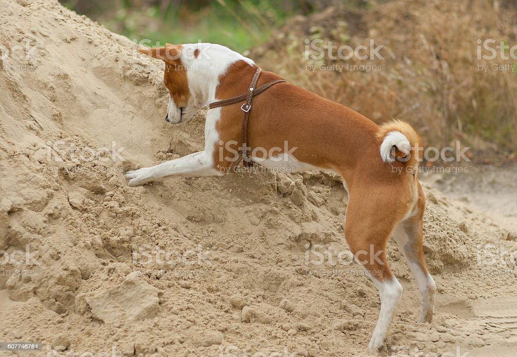 Dog in hunting stage - digging on pile of sand stock photo