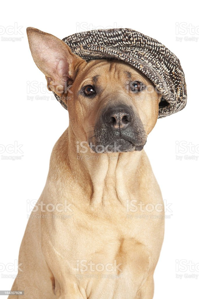 Dog in kepi royalty-free stock photo