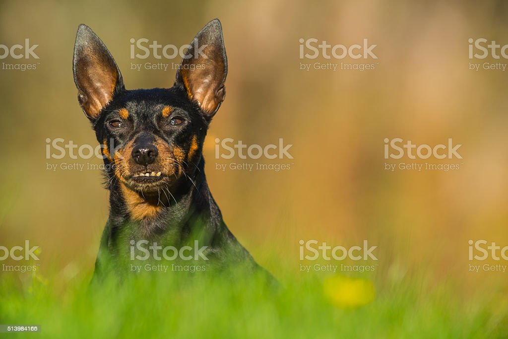 Dog in meadow stock photo