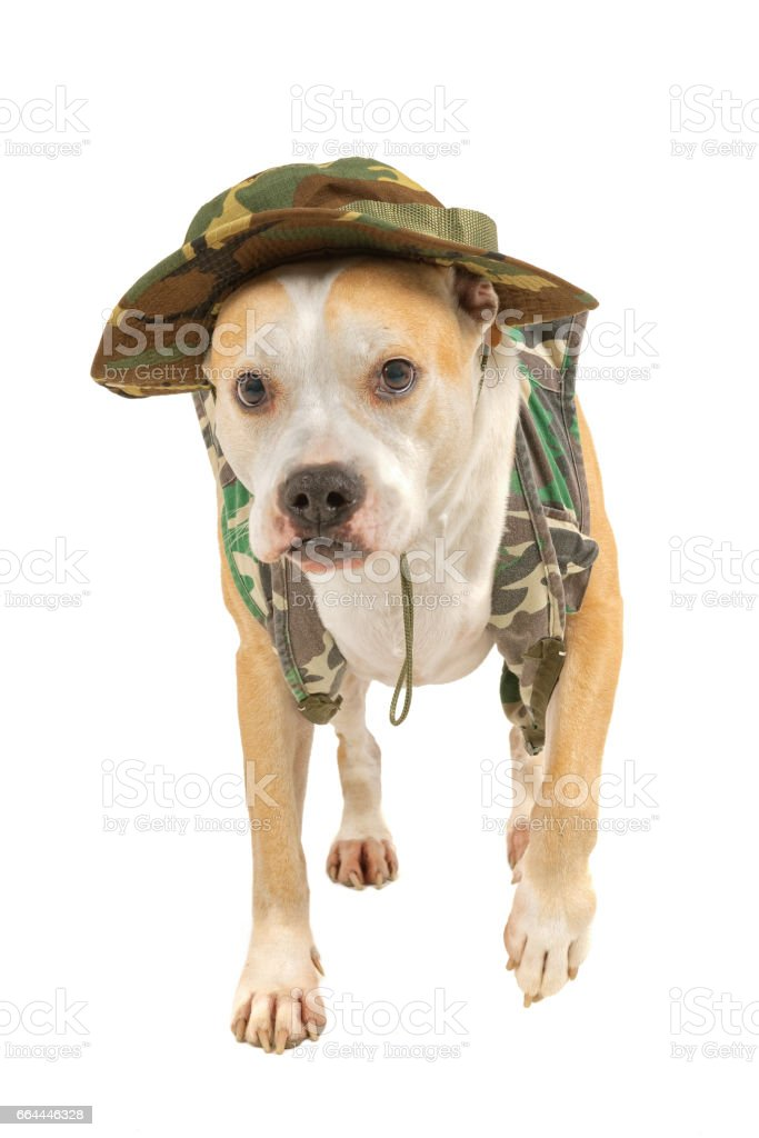 Dog in military attire isolated on a white background stock photo