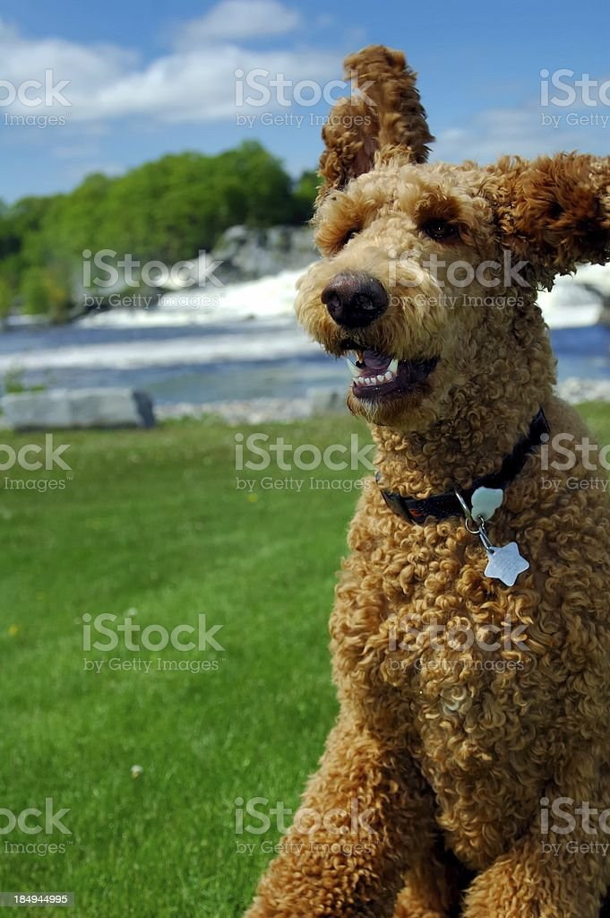 Dog in park royalty-free stock photo