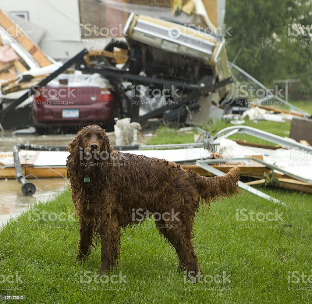 Dog in Rain After Tornado royalty-free stock photo