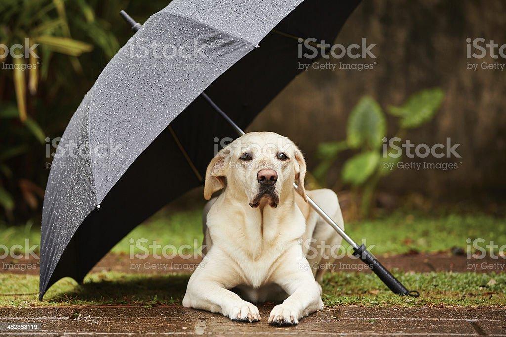 Dog in rain stock photo