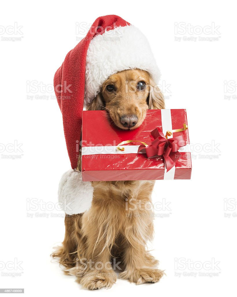 dog in santa hat with a gift mouth stock photo