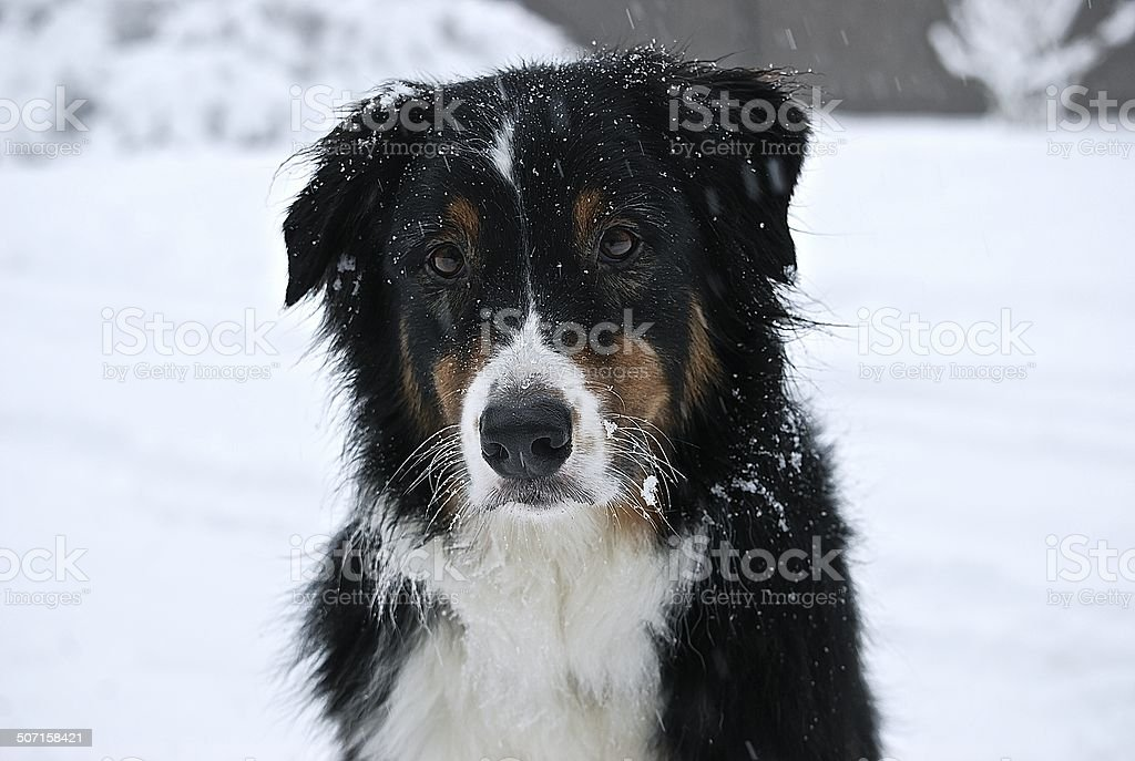 Dog in Snowfall stock photo
