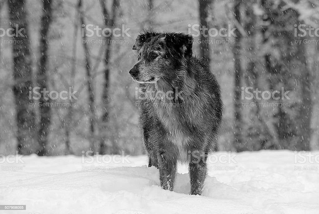 Dog in Snowstorm stock photo