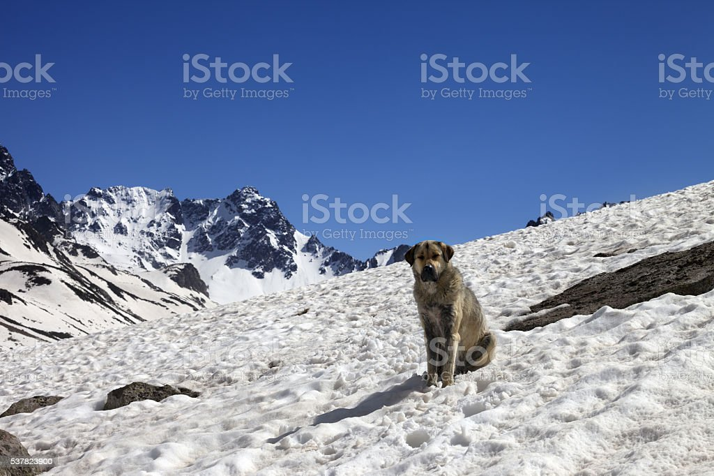 Dog in snowy mountains at spring stock photo