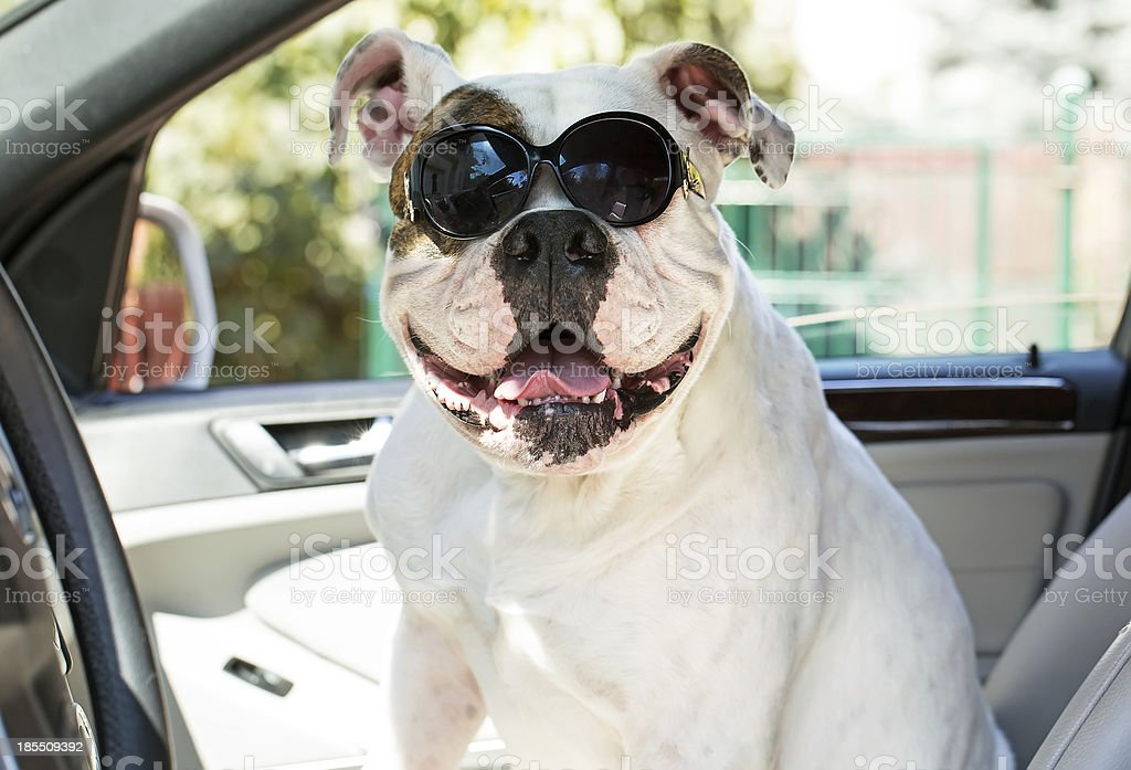 dog in sunglasses royalty-free stock photo