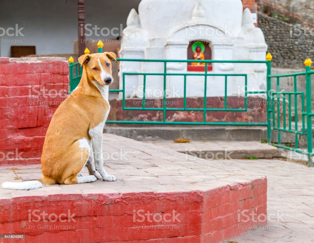 Dog in Swayambhunath Stupa stock photo