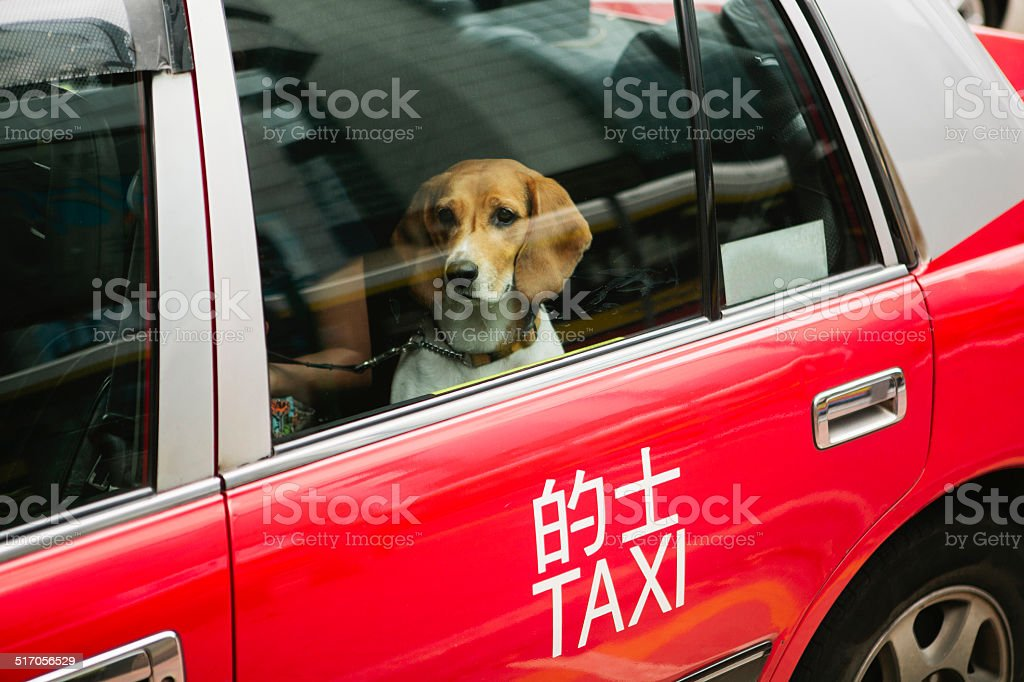 Dog in Taxi stock photo