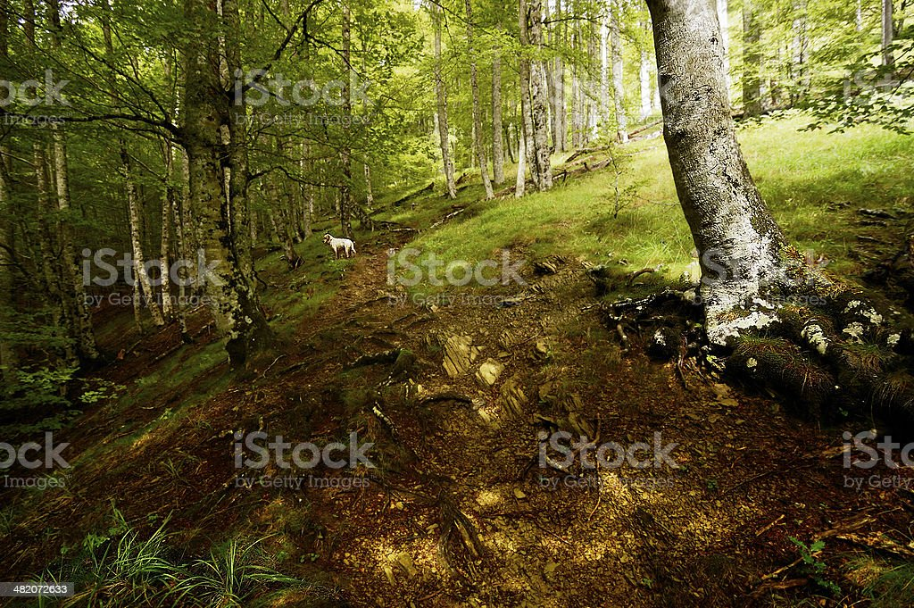 dog in the beech forest stock photo