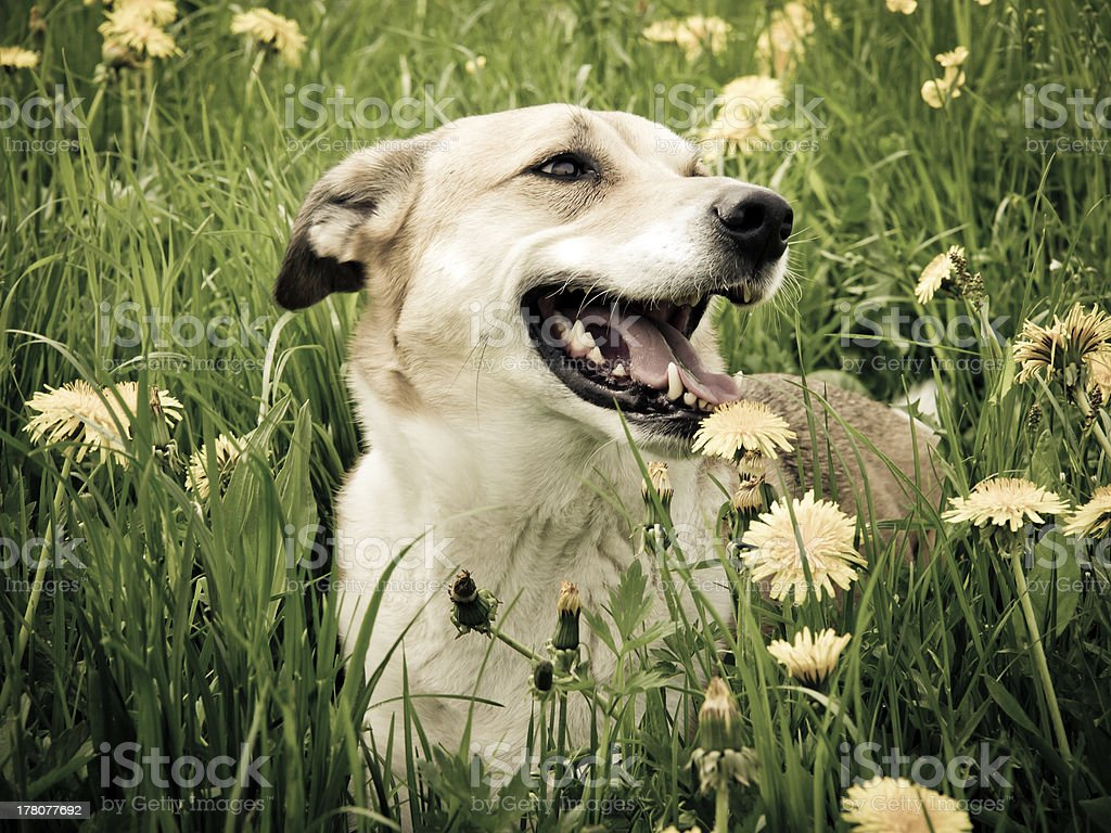 Dog in the dandelion meadow stock photo